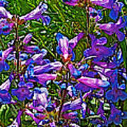 Blue Penstemon On Bald Mountain In Ketchum-idaho Poster