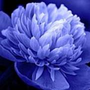 Blue Peony Poster