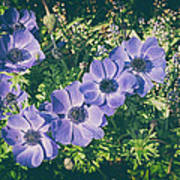 Blue Poppies Blooms Poster