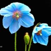 Blue Poppy Flowers # 4 Poster