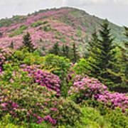 Blue Ridge Mountain Rhododendron - Roan Mountain Bloom Extravaganza Poster