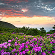 Blue Ridge Parkway Sunset - Craggy Gardens Rhododendron Bloom Poster by Dave Allen