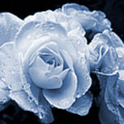 Blue Roses With Raindrops Poster