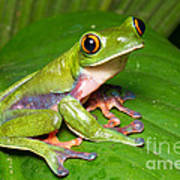 Blue-sided Tree Frog Poster