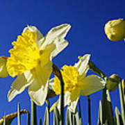 Blue Sky Spring Bright Daffodils Flowers Poster