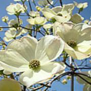 Blue Sky Spring White Dogwood Flowers Art Prints Poster