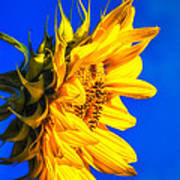 Blue Sky Sunshine Sunflower Poster