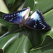 Blue-spotted Charaxes Butterfly #2 Poster