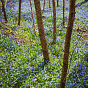 Blue Spring Flowers In Forest Poster