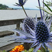 Blue Star Sea Holly Poster