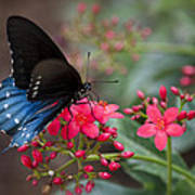 Blue Swallowtail Butterfly  Poster