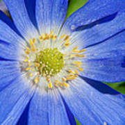 Blue Swan River Daisy Poster