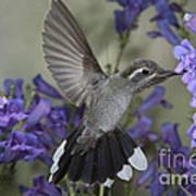 Blue-throated Hummingbird Poster