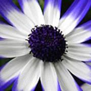 Blue Tipped Osteospermum Poster