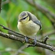 Blue Tit In A Cherry Tree Poster