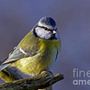 Blue Tit In The Blue Poster