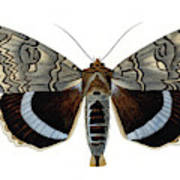 Blue Underwing Moth Poster