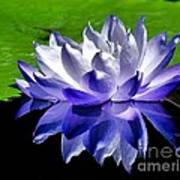 Blue Water Lily Reflection Poster