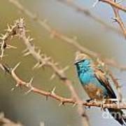 Blue Waxbill - Among The Thorns  Poster