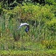 Blue Winged Heron 2013 Poster