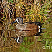 Blue-winged Teal Drake Poster