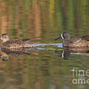 Blue-winged Teal Pair Poster