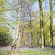 Bluebell Time In England Poster