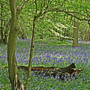 Bluebell Wood 1 Poster