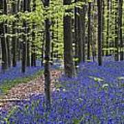 Bluebells In Beech Forest Poster