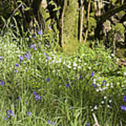 Bluebells And Greater Stitchwort Spring  Boot Eskdale Cumbria England Poster