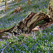 Bluebells At Bransdale Poster