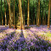 Bluebells In Shadows Poster