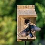 Bluebird At Nest Poster