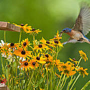Bluebird Flying Over The Black Eyed Susans Poster