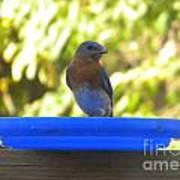Bluebird Frisbee Poster