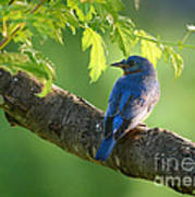 Bluebird In The Morning Poster