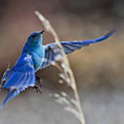 Bluebird Taking Flight Poster
