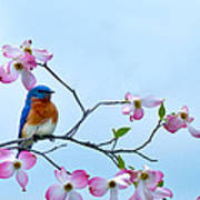 Bluebird Visits Red Dogwood Poster