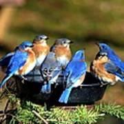 Bluebird Watering Hole Poster