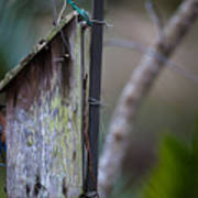 Bluebird With Nest Material In Beak Poster