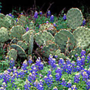 Bluebonnets And Cacti Poster