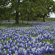 Bluebonnets And Oaks Poster