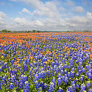 Bluebonnets And Paintbrush Near Whitehall Texas 2 Poster
