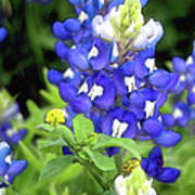 Bluebonnets Blooming Poster
