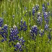 Bluebonnets In The Grass Poster