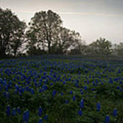 Bluebonnets On A Hazy Morning Poster