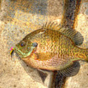 Bluegill In Hdr Poster