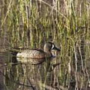 Bluewing Teal Poster