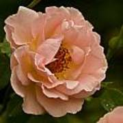 Blush Pink Rose With Dew Poster