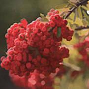 Blushing Berries Poster